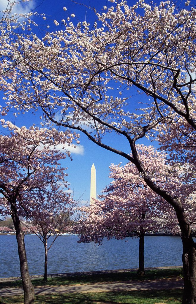 800px-washington_c_d-c-_tidal_basin_cherry_trees